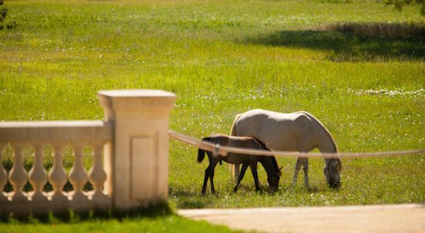 Training von Pferden aus der Camargue