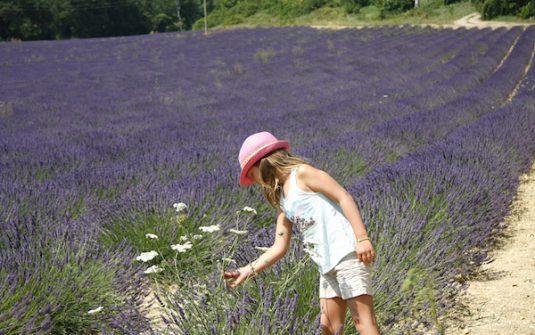 lavendelfelder in Provence