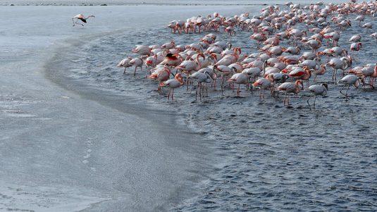 Flamingos in der eiskalten Camargue