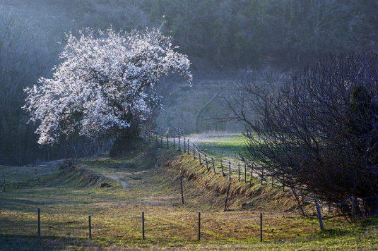 Mandelbaum in der Drôme