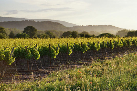 Weinstöcke in der Nähe von Apt