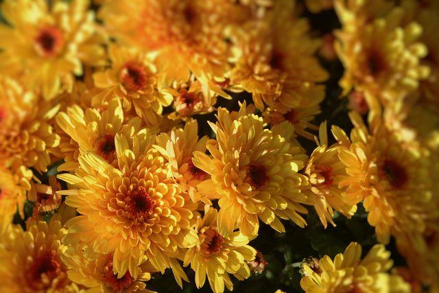 Keine Chrysanthemen verschenken