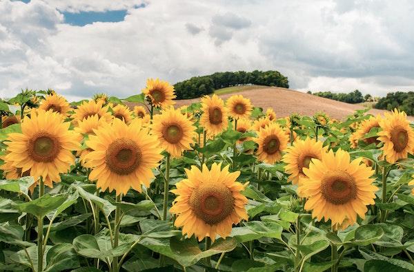 Sonnenblumen Lot et Garonne