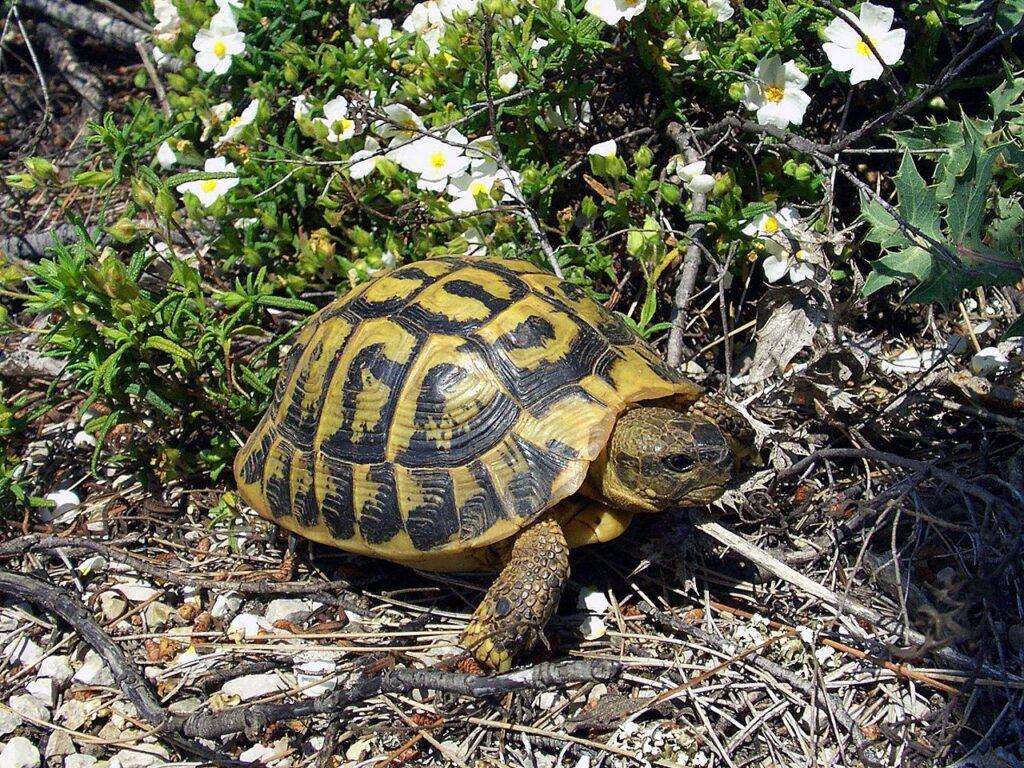 Hermann-Schildkröten in der Provence