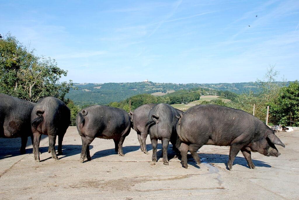 chwarze Schweine aus dem französischen Baskenland