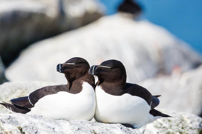 """. """"Fliegende Pinguine"""" in der Bretagne"""