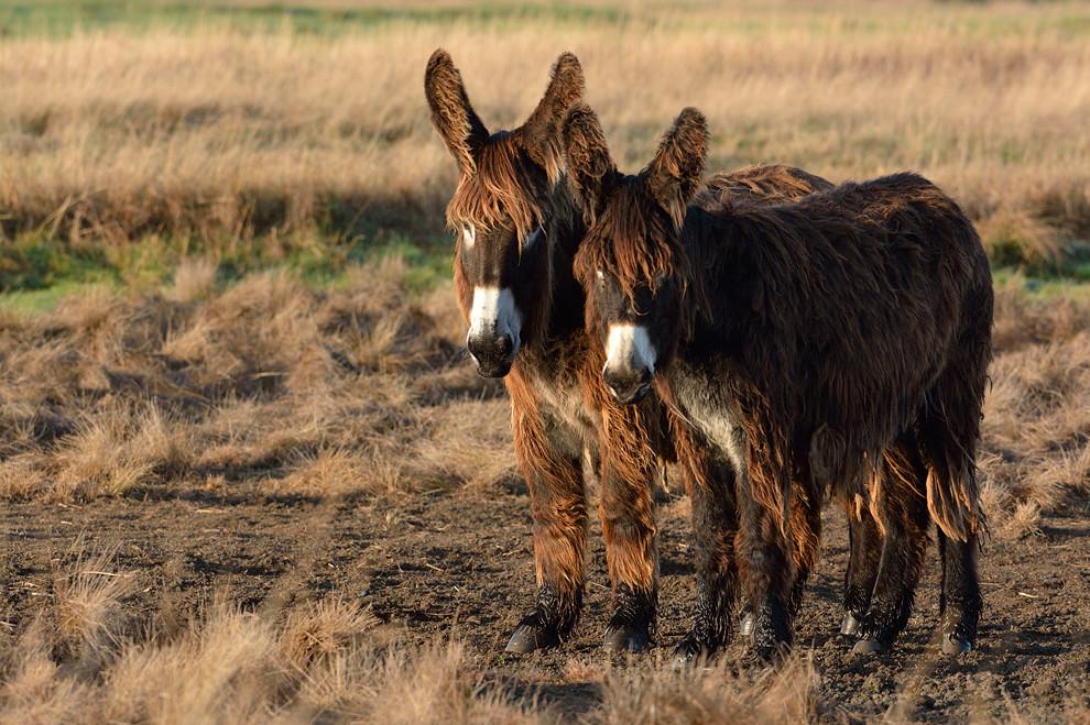 Esel aus Poitou Baudet