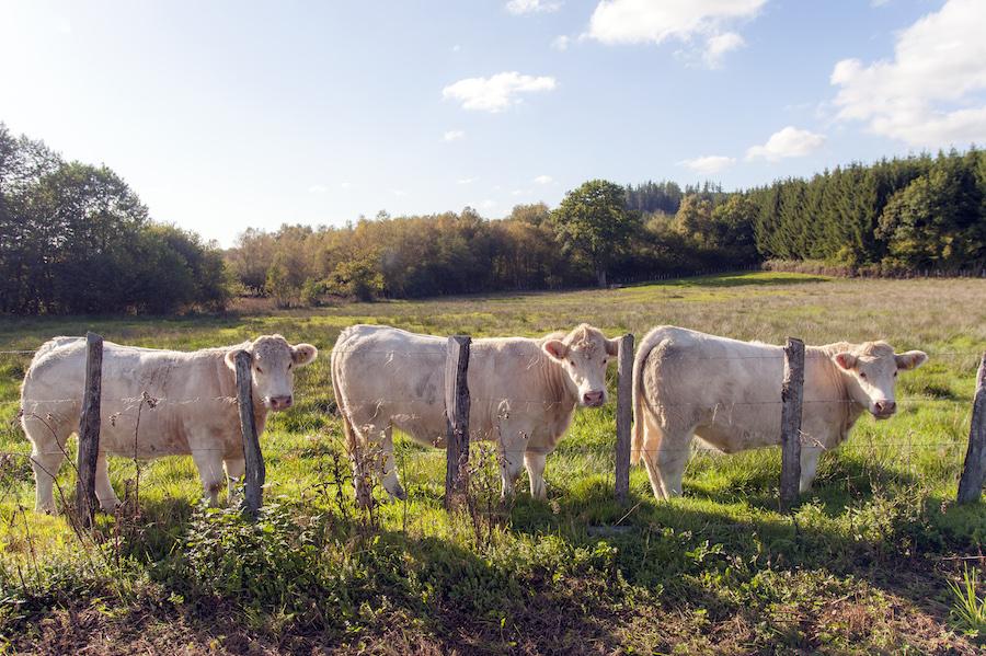 Charolais-Kühe Morvan Bourgogne Herfst Nature